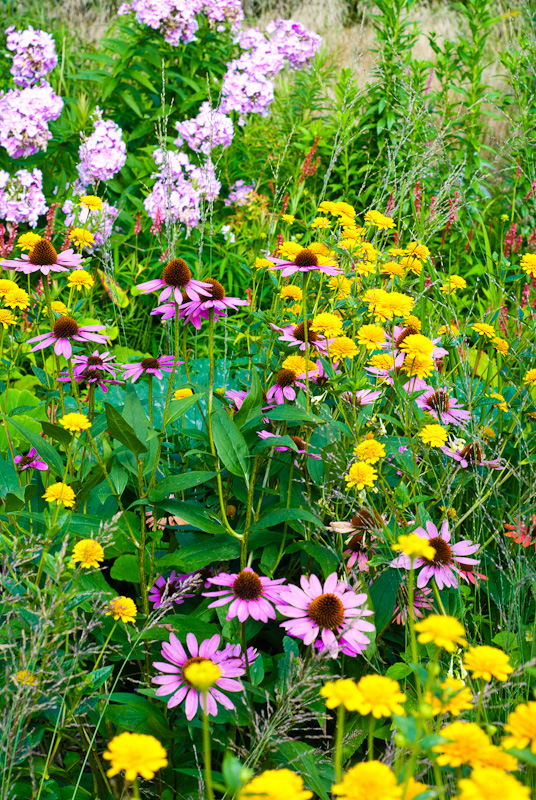 perennial flowers in meadow