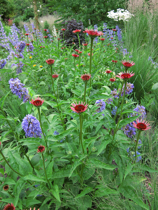 Meadow with nepeta and echinacea
