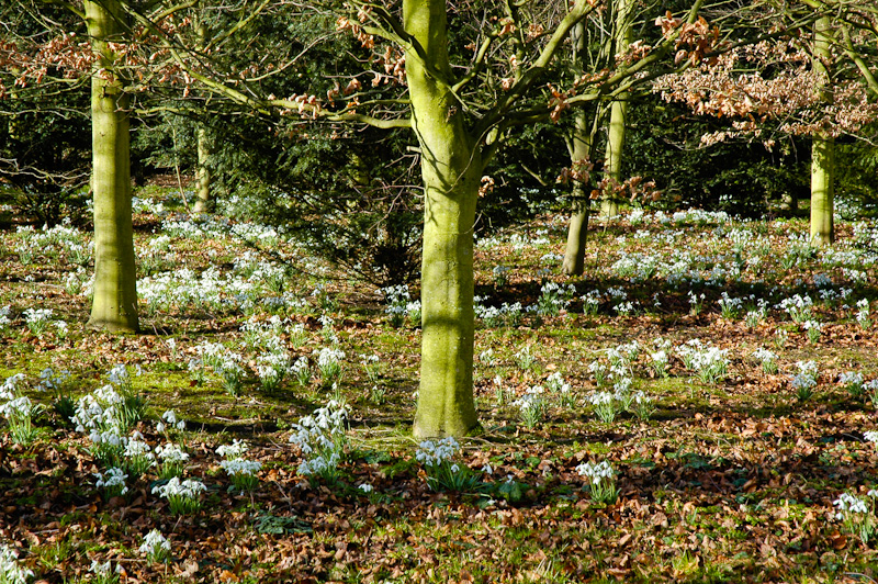 Galanthus, snowdrops in woodland