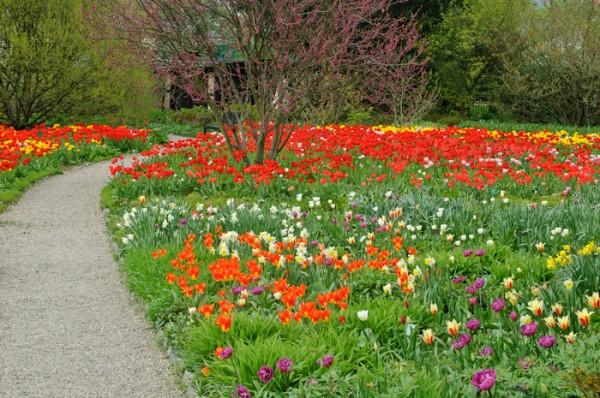 Tulips in the Hessenhof, Weinheim, Germany