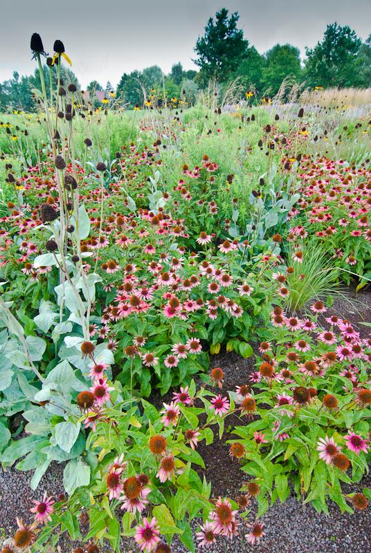 Perennial meadow with Rudbeckia maxim and Echinacea 'Sundown'