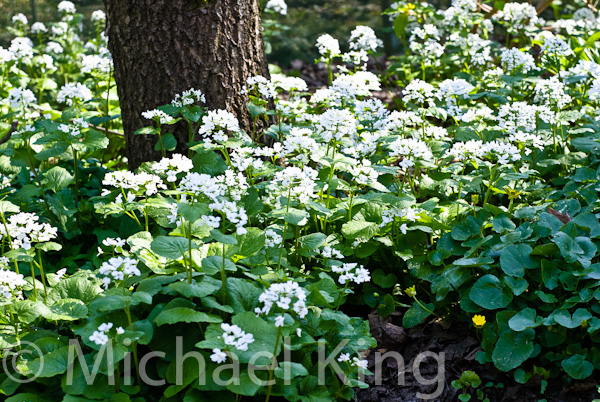 Pachyphragma machrophyllum a white flowered ground cover perennial pachyphragma machrophyllum mightylinksfo Image collections