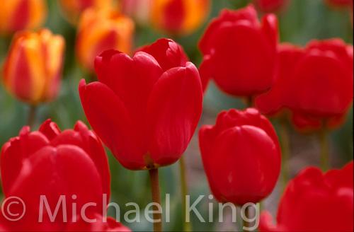 Tulip 'Apeldoorn' Darwinhybrid Group