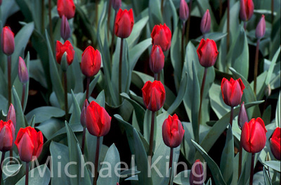 Tulip 'Couleur Cardinal' Triumph Group