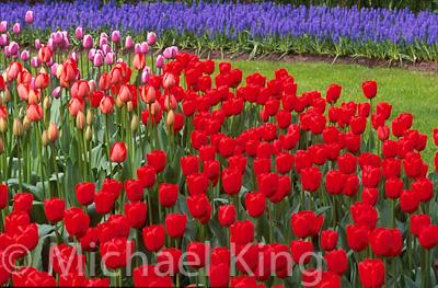 Tulip 'Hollandia' Triumph Group