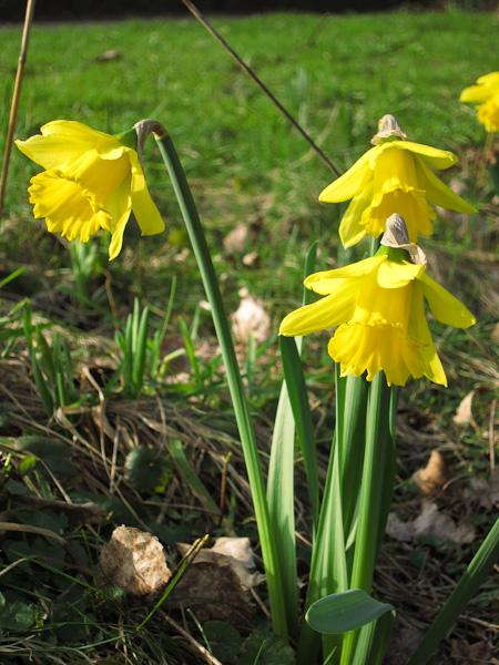 Narcissus 'Rijnveld's Early Sensation'