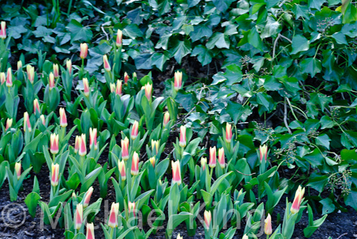 Tulip 'Corona' Kaufmaniana Group