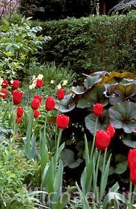 Tulip 'Kingsblood' Single Late Group