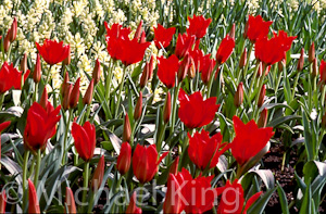 Tulip 'Long Fellow' Gregii Group
