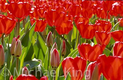 Tulip 'Red Impression' Darwinhybrid Group