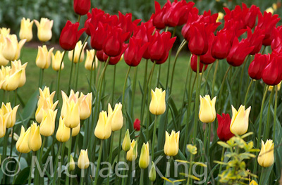 Tulip 'Red Shine' & 'Elegant Lady' Lily Flowered Group