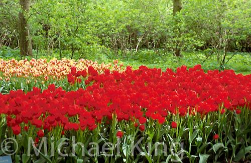 Tulip 'Roulette' Triumph Group