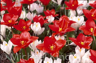 "Tulip 'Showwinner"" Kaufmaniana Group"