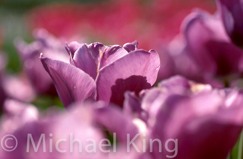 Tulip 'Bleu Aimable'