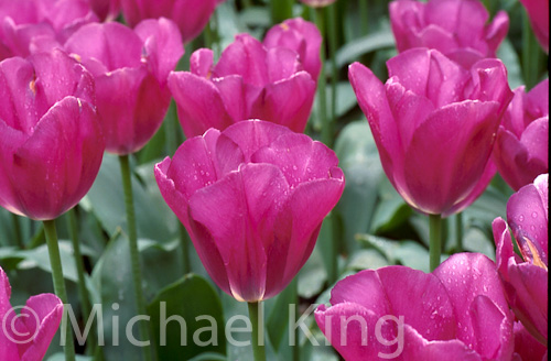 Tulip 'Blue Champion'