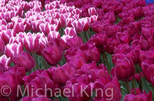 Tulip 'Synaeda Blue' and 'Negrita'