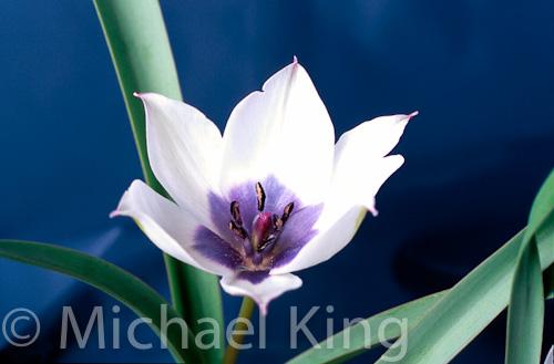 Tulipa humilis Albocaerulea Group