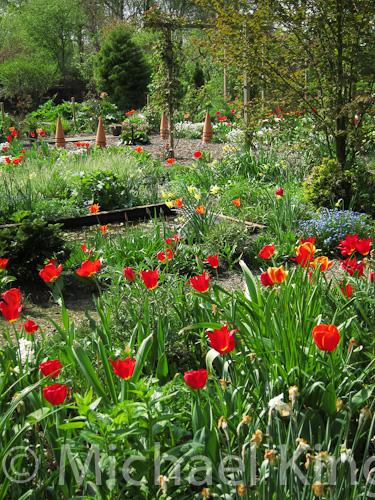Red tulip mixture in Michael King's garden