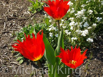 "Darwinhybrid Group Tulip 'Leo"""