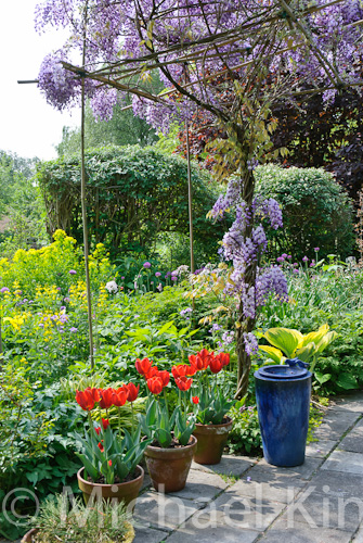 Tulip 'Couleur Cardinal' with wisteria