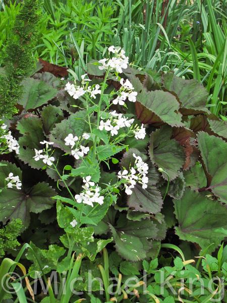 White Lunaria annua in spring.