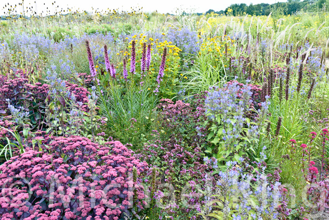 Perennial Meadow designed by Michael King