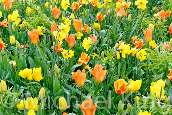 Tulip Mixtures - Keukenhof-19