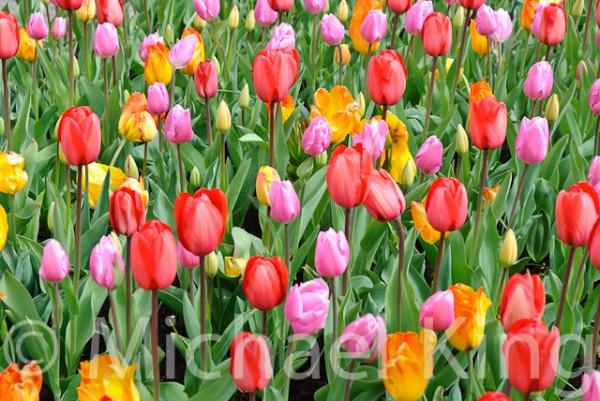 Tulip Mixtures - Keukenhof-2