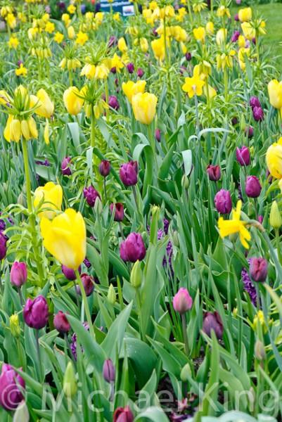 Tulip Mixtures - Keukenhof-4