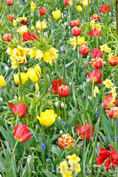 Tulip Mixtures - Keukenhof-5
