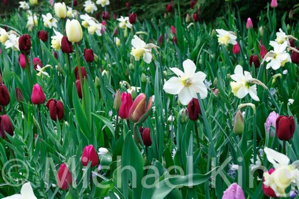 Tulip Mixtures - Keukenhof-6