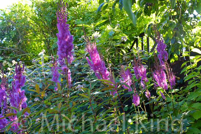 Perennial Meadows in July
