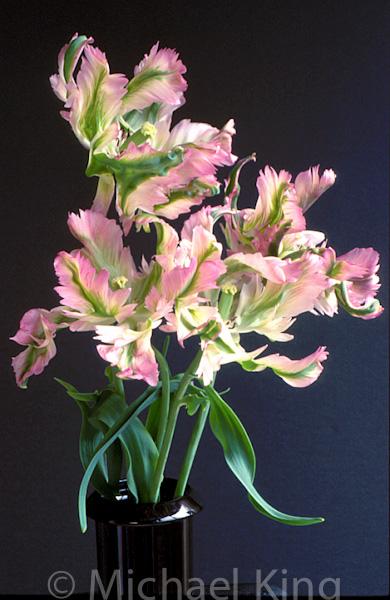 Parrat tulip