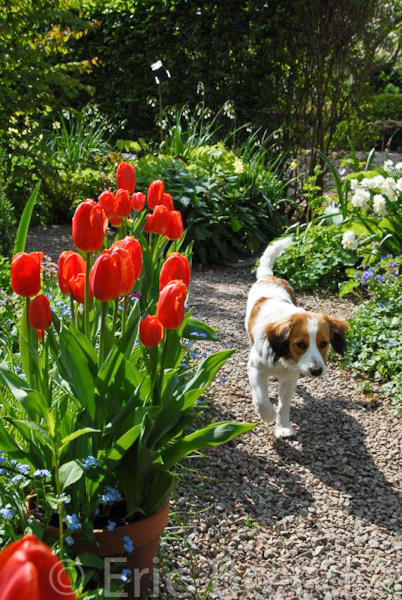 Tulip Prins Willem-Alexander