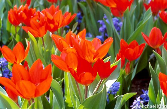 Tulipa praestans Fusilier6