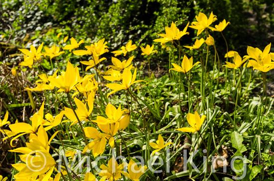 Tulips sylvestris