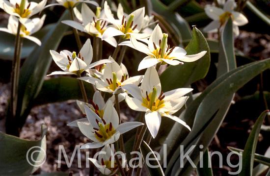 Tulipa turkistanica