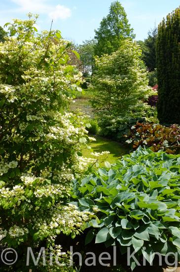 Viburnum plicatum repeated in a garden design
