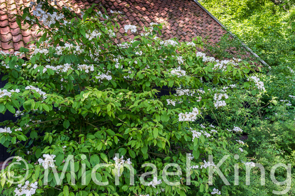Doublefile viburnum is a fine shrub that eventually grows far larger than the books suggest