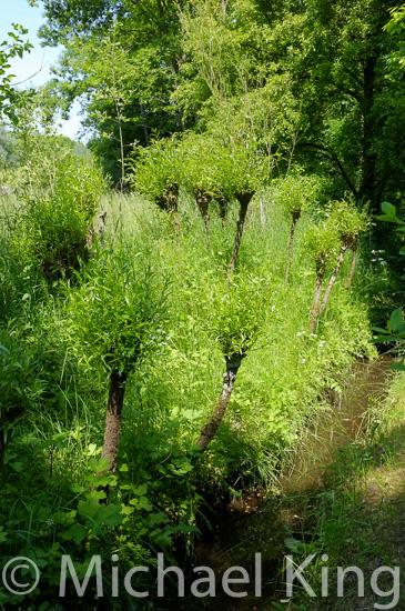 Willows near a stream