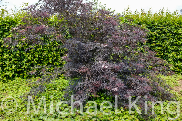Popular shrubs like this sambucas need to be allowed to grow to their full potential and not hacked to the ground every spring in order to fit them into smaller gardens