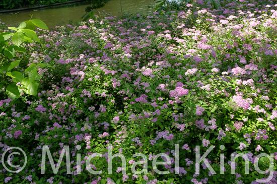 Summer flowering shrub
