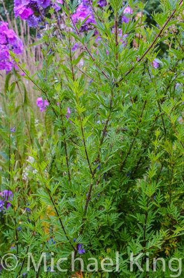 Syringa persica 'Lanceolata'