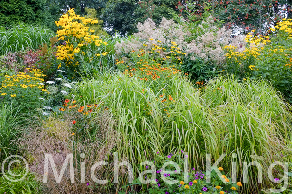 Miscanthus grasses with rudbeckia and helenium flowers