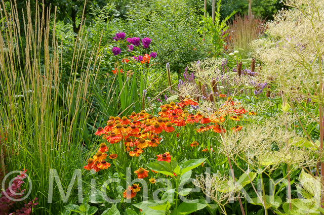 Helenium and grasses