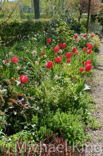 Red Darwin tulips