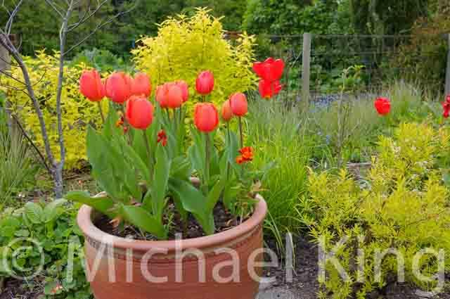 Tulip 'Prins Willam-Alexander'