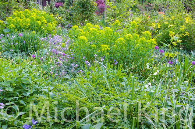 Geranium tuberosa