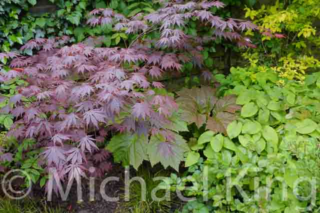 Purple leaved shrubs