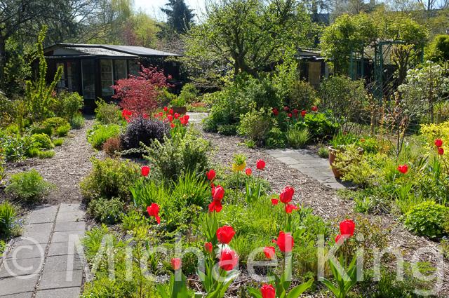 Tulip bulbs in a perennial garden